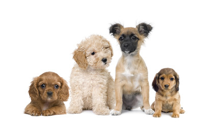 Wall Mural - Group of puppy dogs in front of white background, studio shot