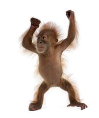 Fotorolgordijn Aap Baby Sumatran Orangutan, standing in front of white background