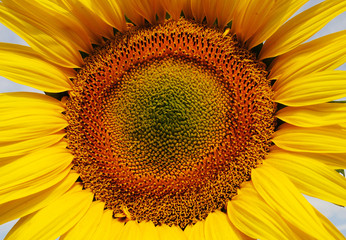 sunflower in close eye