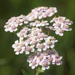 Blüten der Schafgarbe (Achillea millefolium, Common Yarrow)