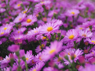 Magenta asters.