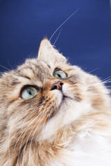 Close-up portrait of Siberian cat.