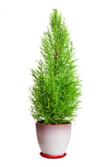cypress in pot