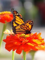 Oranze Zinnia & Monarch