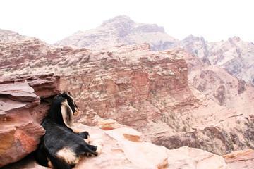 Bergschaf in Petra, Jordanien
