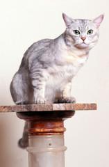 chat de race burmilla assis sur une colonne de faux marbre