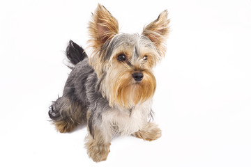 picture of a very curious yorkshire terrier