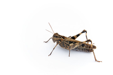 クルマバッタ(grasshopper)
