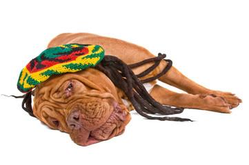 Dog Lying in Rastafarian Hat