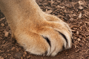 large paw of a large lion