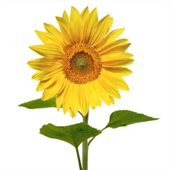 Vivid Sunflower (Isolated)
