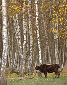 auroch, la vache préhistorique