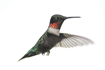 Fotoväggar - Isolated Male Ruby-throated Hummingbird (archilochus colubris)