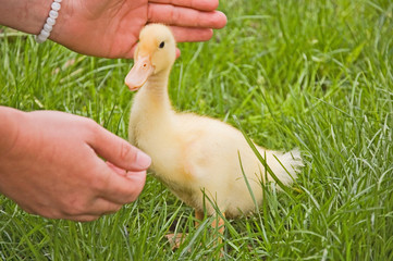 Small Duckling With Hands Reaching