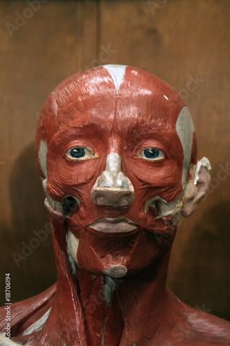 Kopf Modell ohne Haut, Gesichtsmuskeln, Anatomie\