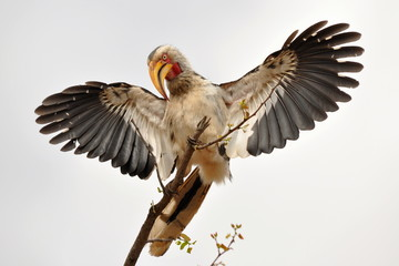 hornbill spread its wings,Kruger national park,S. Africa