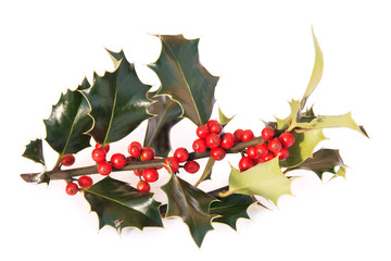 Holly twig with bright berries