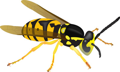yellowjacket illustration