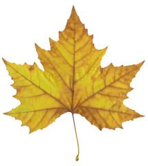 Autumn maple leaf.
