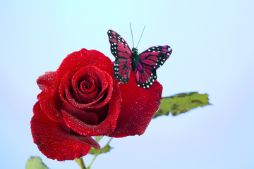 Rose Red Butterfly Isolated on Blue