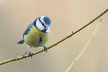 Printed roller blinds Bird wunderschöne Blaumeise