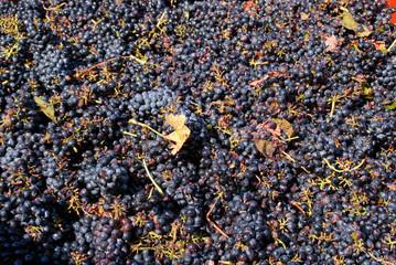 Maschinelle Weinlese
