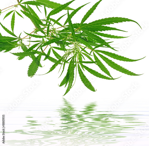 plante verte cannabis fond blanc photo libre de droits sur la banque d 39 images. Black Bedroom Furniture Sets. Home Design Ideas