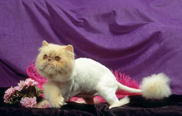 chat persan toiletté de façon étrange