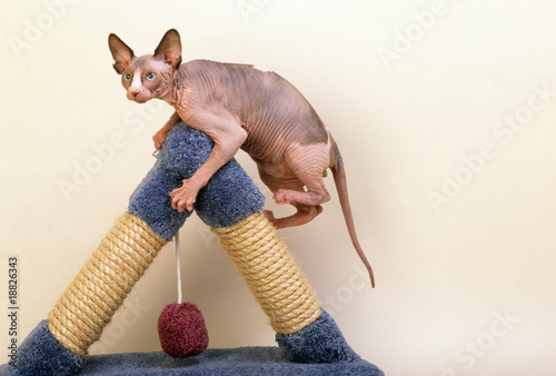 chat nu de race sphynx sur un jeu pour chats photo libre. Black Bedroom Furniture Sets. Home Design Ideas