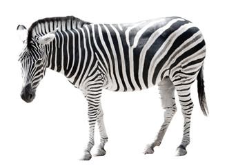 Printed roller blinds Zebra Zoo single burchell zebra isolated on white