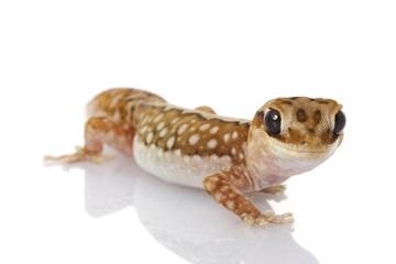 Wheat-belt Stone Gecko
