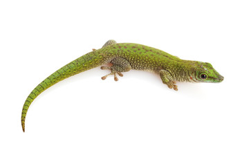 Koch¡¯s Giant Day Gecko