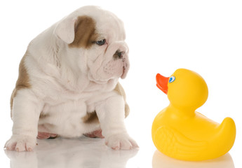 bath time - bulldog puppy sitting beside a rubber duck