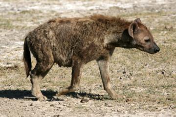Fotobehang Hyena Hyena - Ngorongoro Crater, Tanzania, Africa
