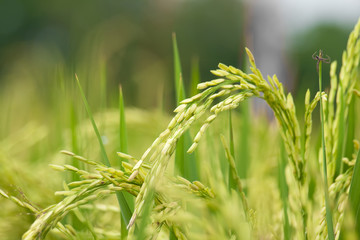 Rice stalk on a rice field