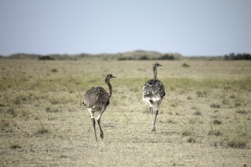 Couple of ostrich running