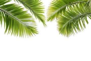 Feuilles de palmier sur fond blanc