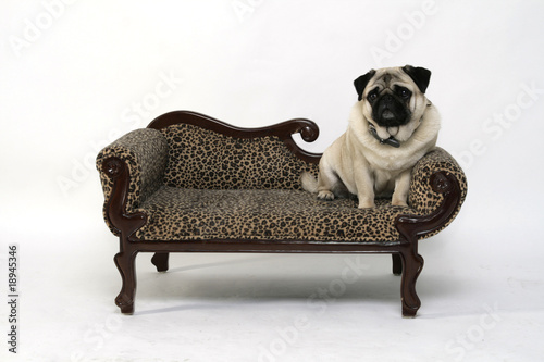 dicker mops auf dem hundesofa stock photo and royalty free images on pic 18945346. Black Bedroom Furniture Sets. Home Design Ideas