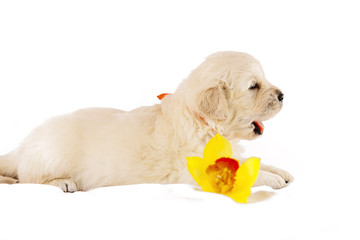 Golden retriever puppy isolated on white background with flower