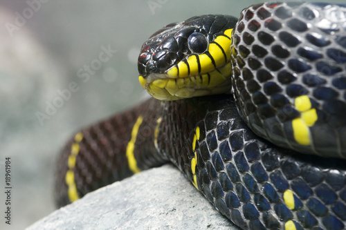 Single colorful black and yellow snake stock photo and for Serpente nero e giallo
