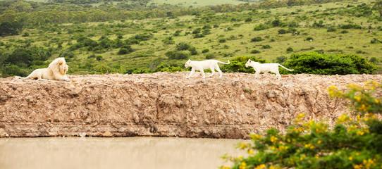 white lions in savanna