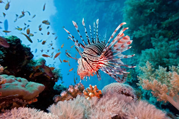 Foto auf AluDibond Unterwasser Lionfish on the coral reef