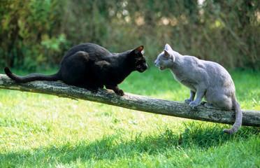 rencontre de deux chats dans la nature - bagarre