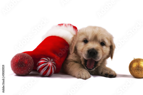 Golden retriever puppy isolated christmas toys and sock