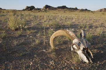 Skull of an argali sheep