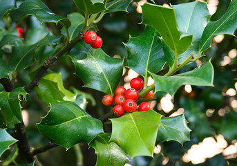 Holly tree close-up
