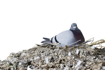 pigeon Incubate