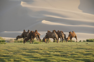 Camels grazing at the Gobi
