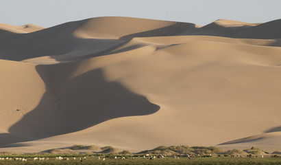 Animal grazing at Khongoryn Els, the Gobi desert