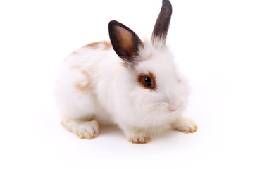 white rabbit isolated on white